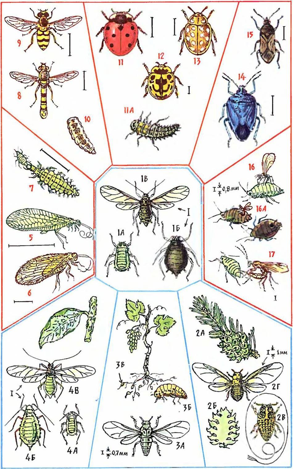 Виды тли и ее биологические враги: 1 - Тля, 2 - Хвойная тля, 3 - Тля-филлоксера, 4 - Яблонная тля, 5 - Златоглазки, 6 - Гемеробии, 8 - Сферофория украшенная, 9 - Сирф перевязанный, 10 - Муха-журчалка, 11,12,13 - Коровки, 14 - Клоп-ориус, 15 - Клоп-зикрона, 16,17 - Наездник афелинус