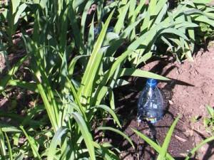 Закапываем бутылку на 2/3 в землю горловиной вверх