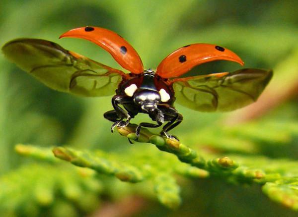 Божья коровка – неутомимый хищник, она является врагом также для червеца, белокрылки, паутинного клеща, мелких гусениц, щитовки, растительноядных клопов и личинок жуков (например, колорадского, листоеда)