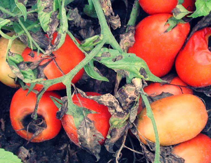 Болезни томатов - альтернариоз