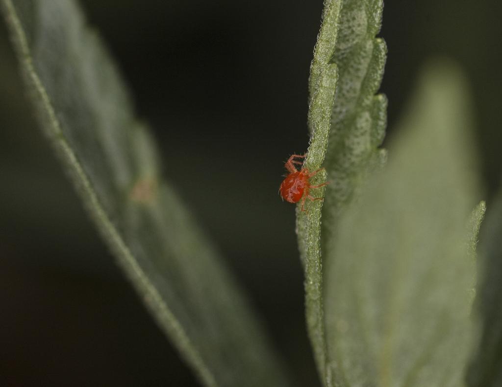 Чем обработать теплицу от паутинного клеща осенью