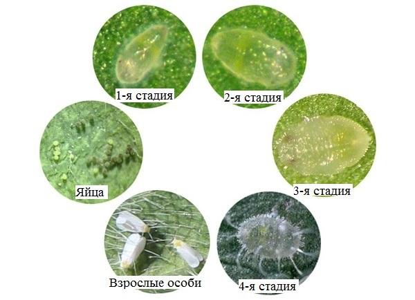 Цикл развития белокрылки