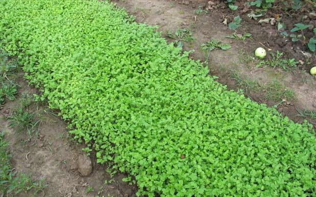 Горчица - зеленое удобрение
