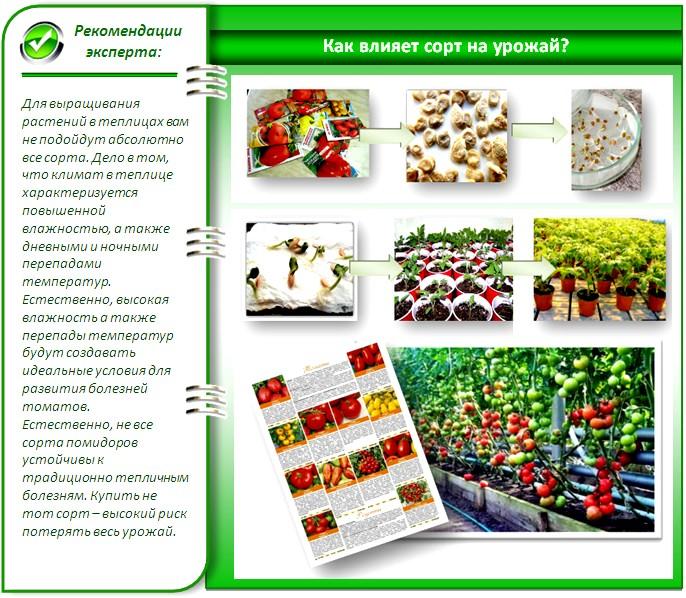 Как сорт томатов влияет на урожай