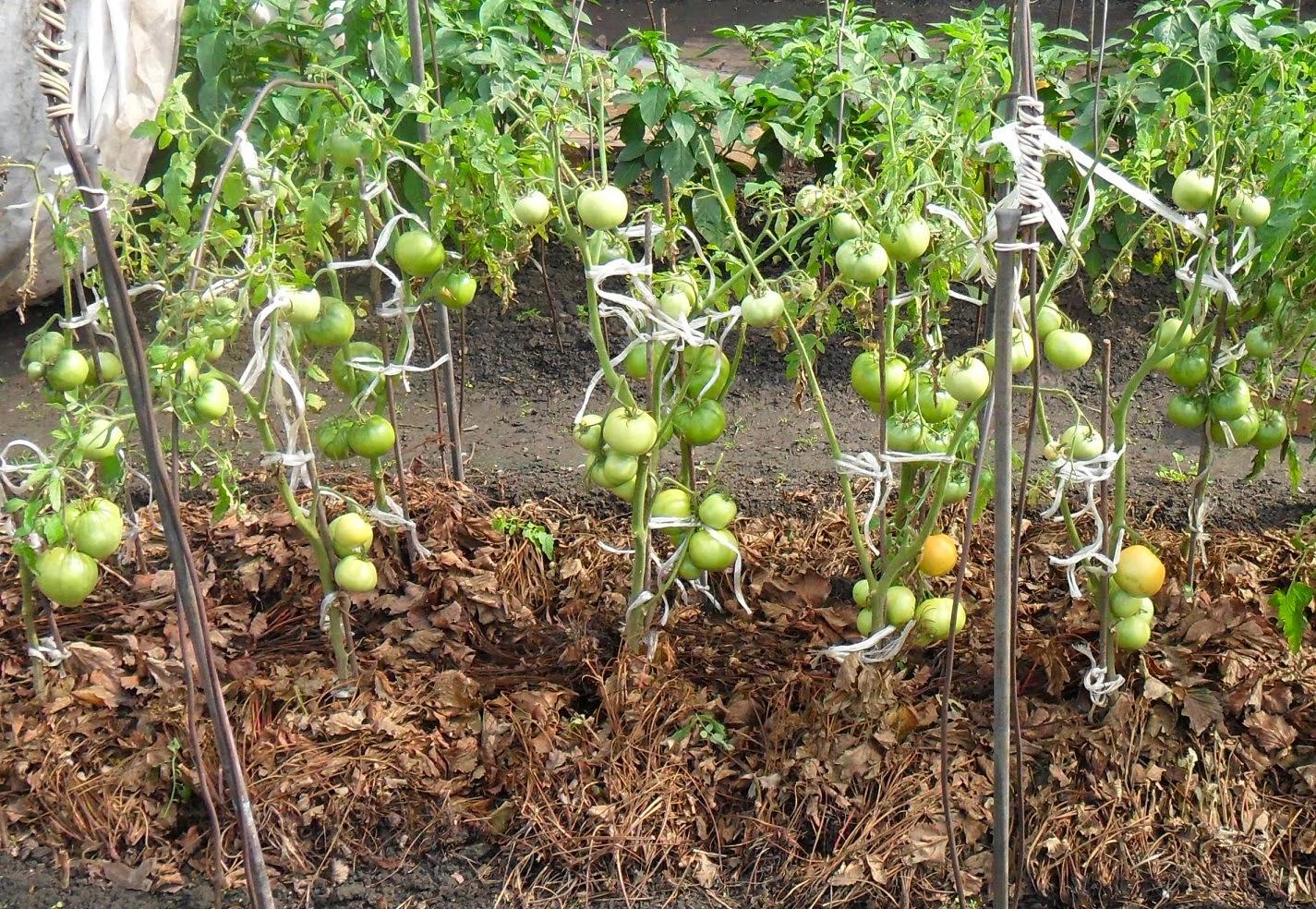 Мульчирование грядок с помидорами
