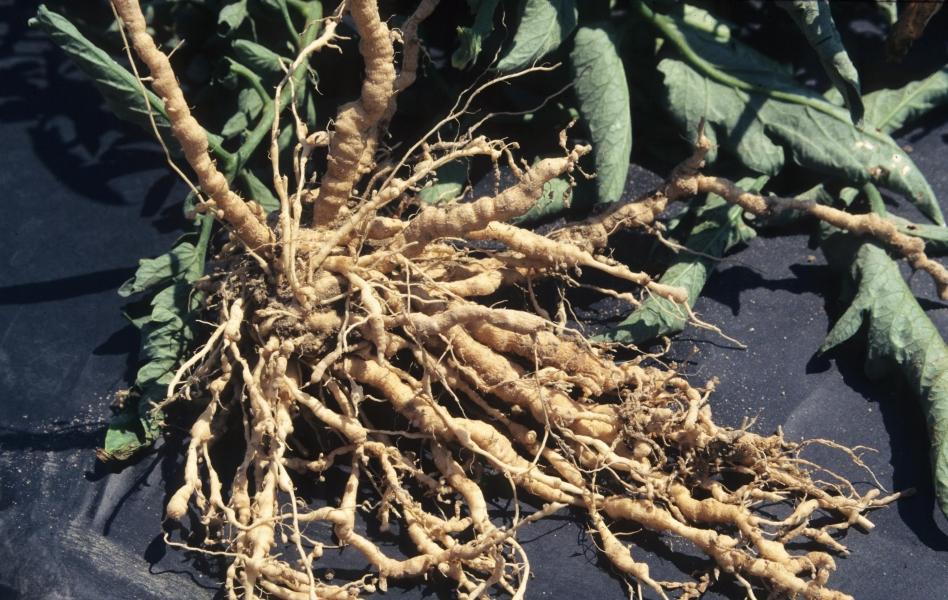 Нематода - поврежденные корни