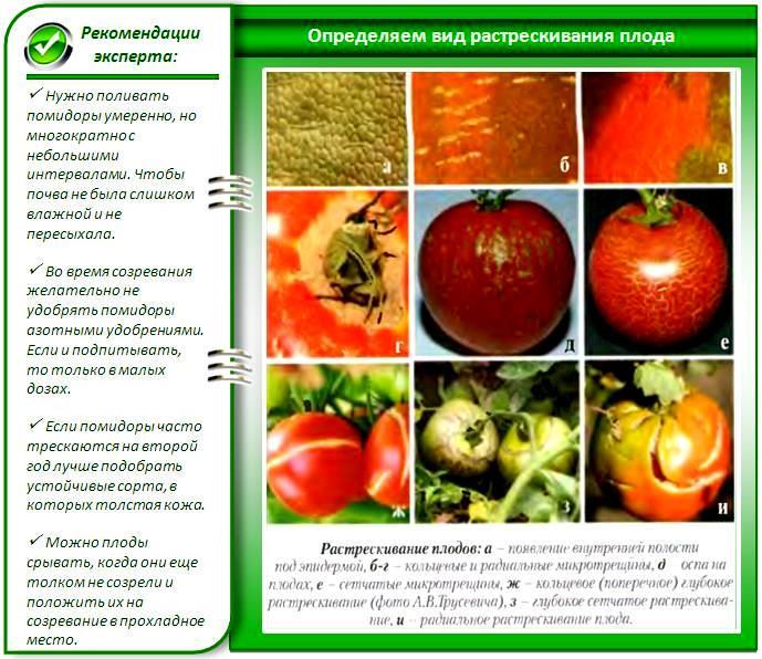 Определяем вид растрескивания плода