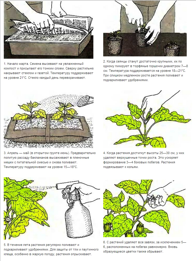 Основные правила ухода за баклажанами в процессе выращивания