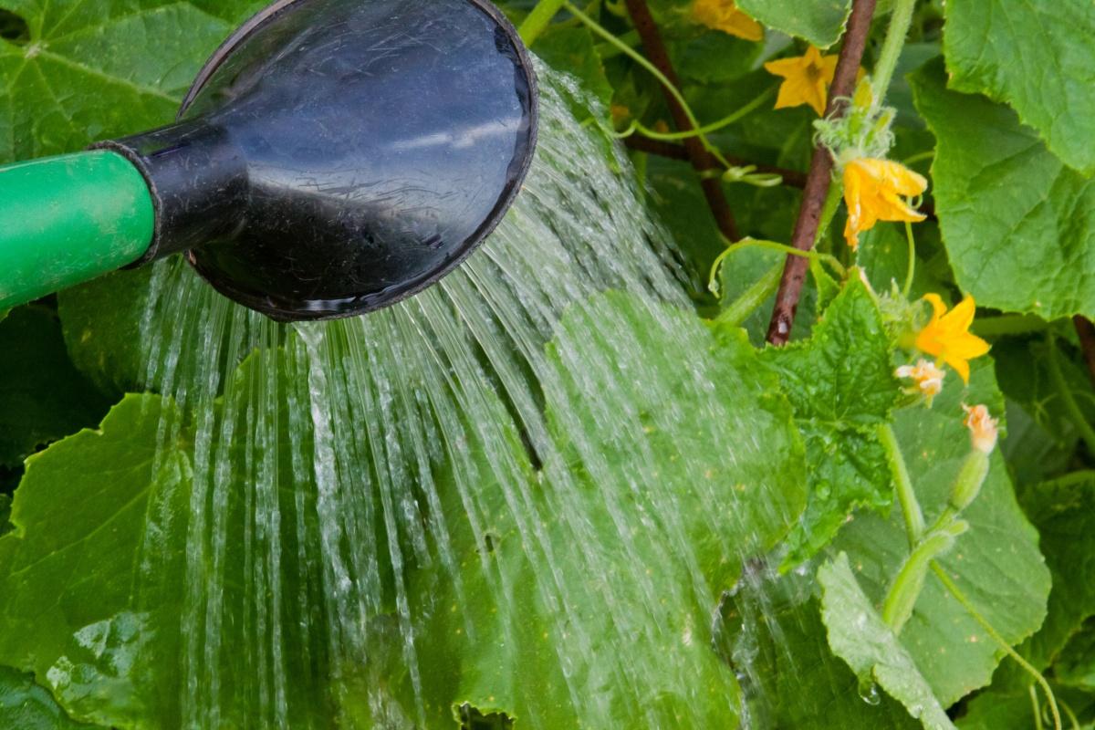 Полив огурцов теплой водой