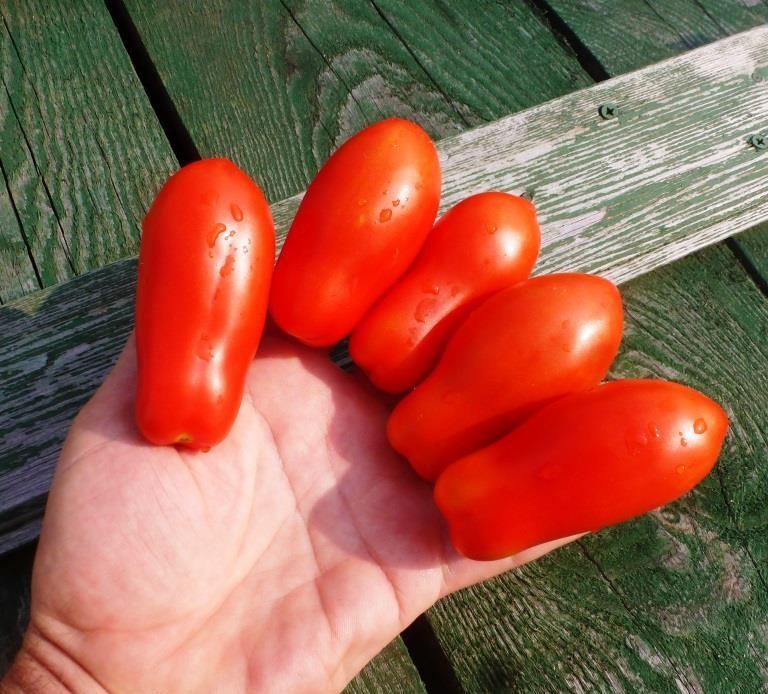 Помидоры «пальчики» очень необычны. Они имеют продолговатую форму и действительно напоминают пальчики.