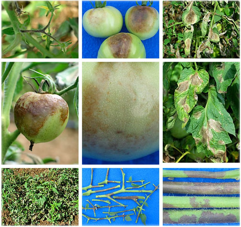 Признаки фитофтороза на томатах