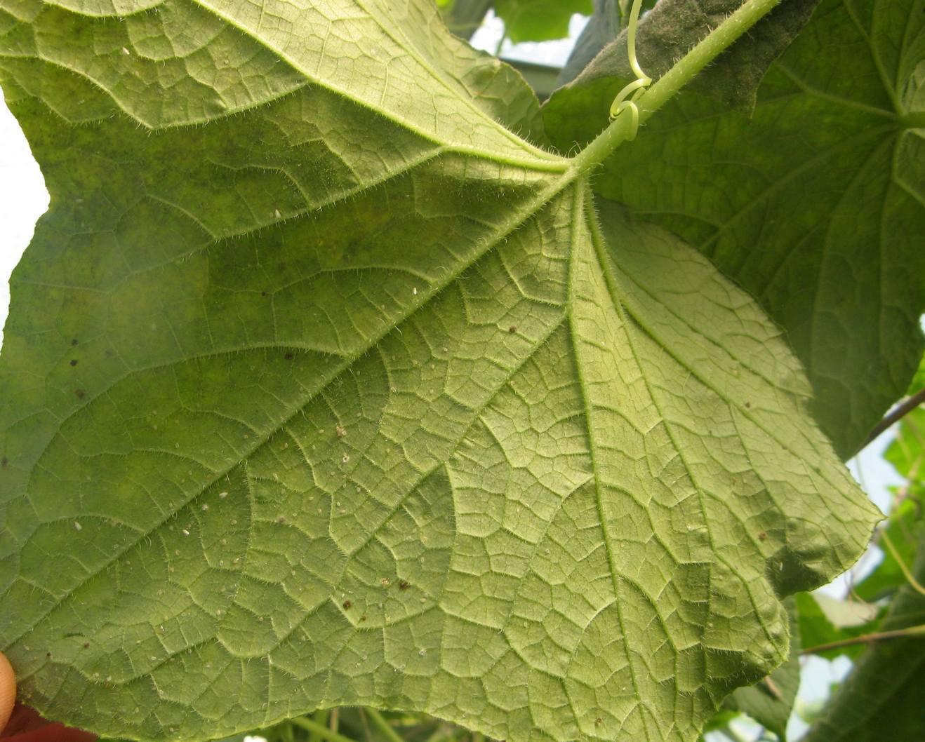 Скопления личинок белокрылки на изнанке листа