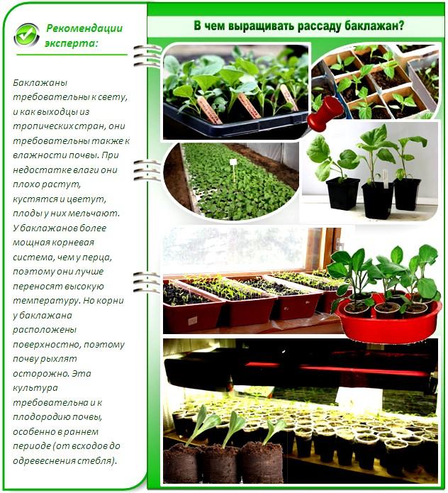 В чем выращивать рассаду баклажан
