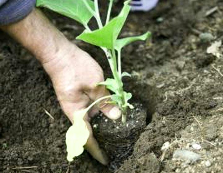 Высадка рассады в открытую почву