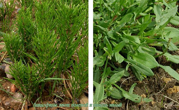 Ацидофилы — растения кислых почв