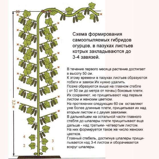 Формовка партенокарпических гибридов огурцов