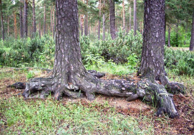 И такое смыкание корней у деревьев одного и того же вида происходит довольно часто