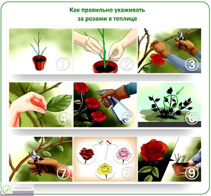Как правильно ухаживать за розами в теплице