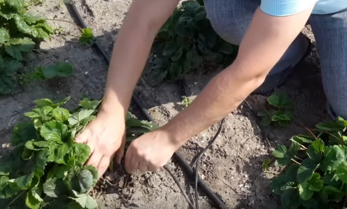 Капельница втыкается в грунт возле растения