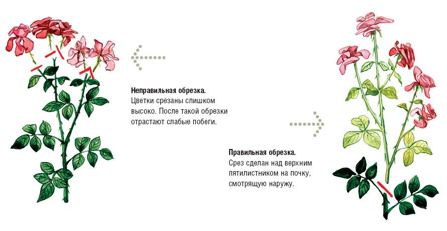 Обрезка цветущих кустов роз