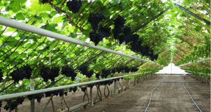 Оптимальный температурный режим для винограда зависит от стадии роста