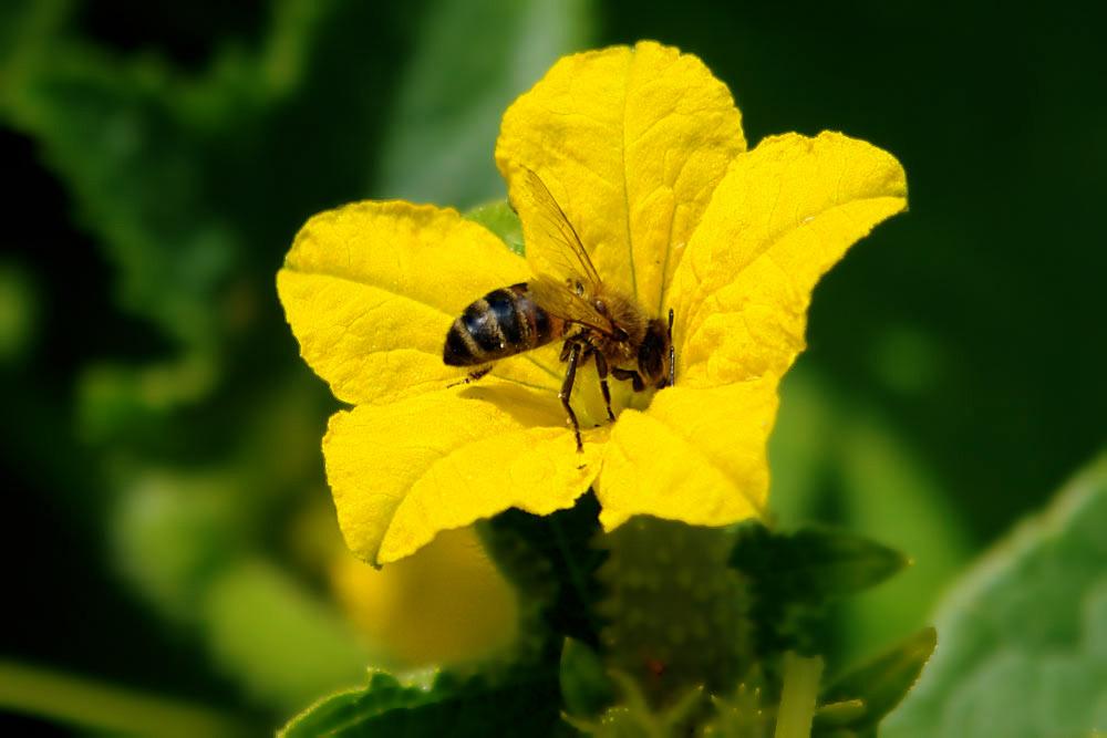 Пчелоопыляемые сорта сажают в парники с системой проветривания