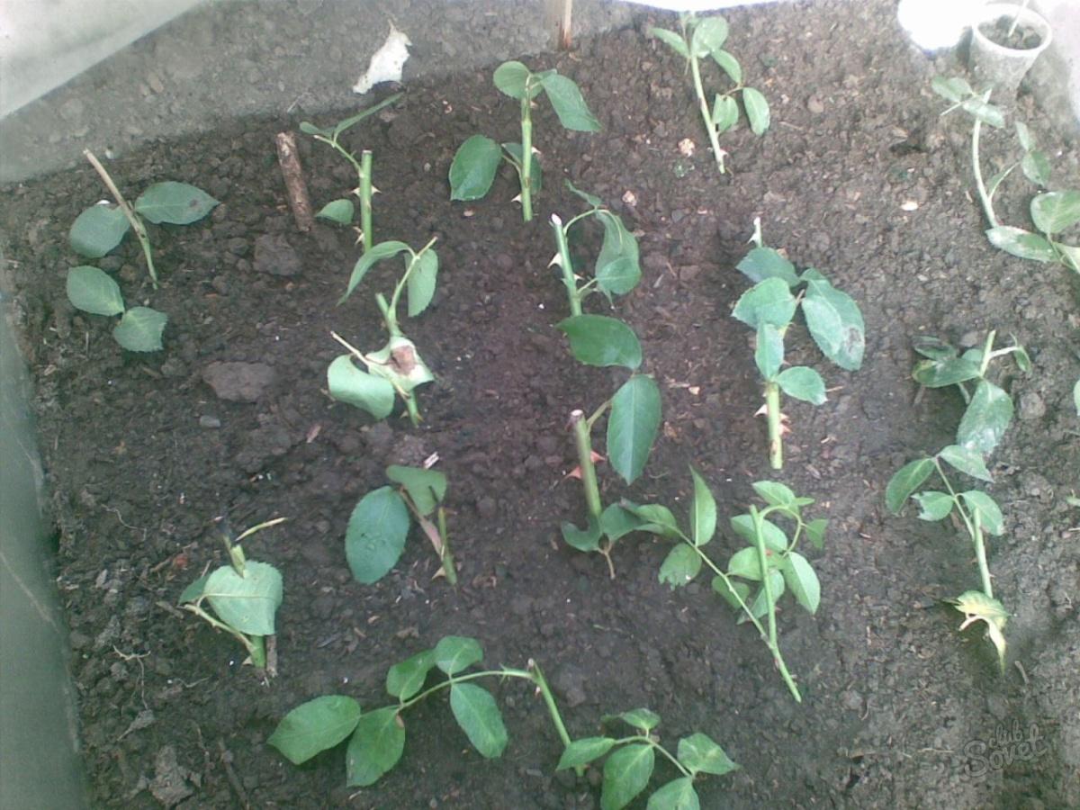 Плотность посадки черенков