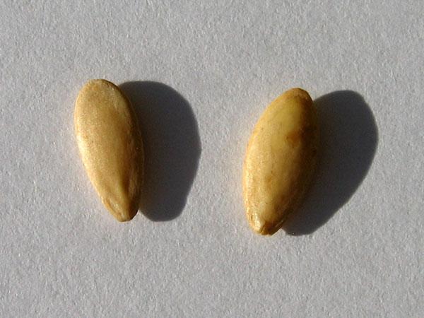 Подготовка семян огурцов к посеву