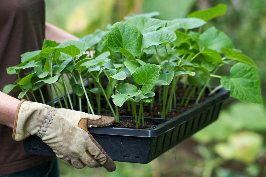 Подросшую рассаду можно перенести в отапливаемую теплицу