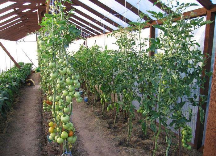 Пример альтернативного варианта: выращивание томатов в ведрах