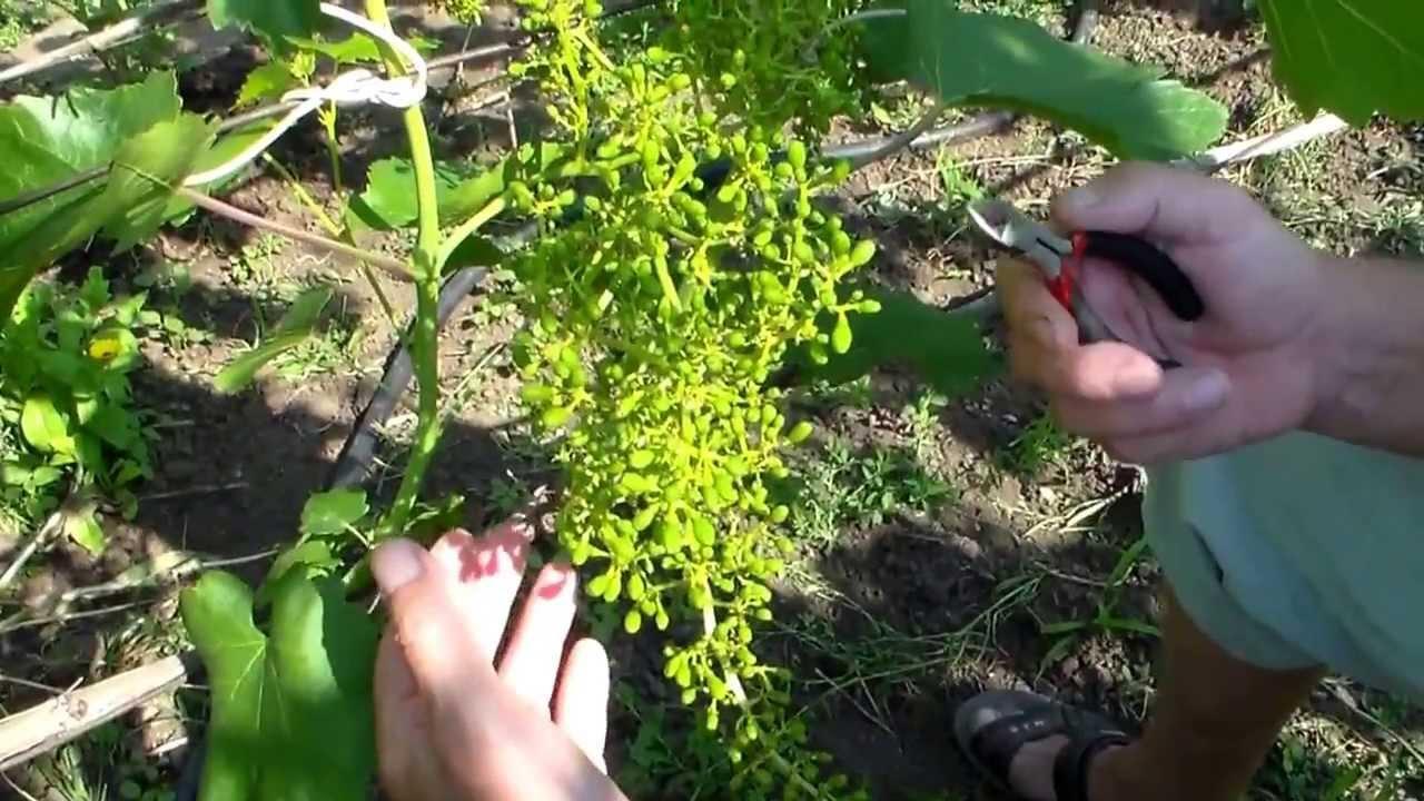Прореживание винограда в теплице