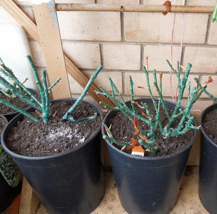 Саженцы роз с закрытой корневой системой