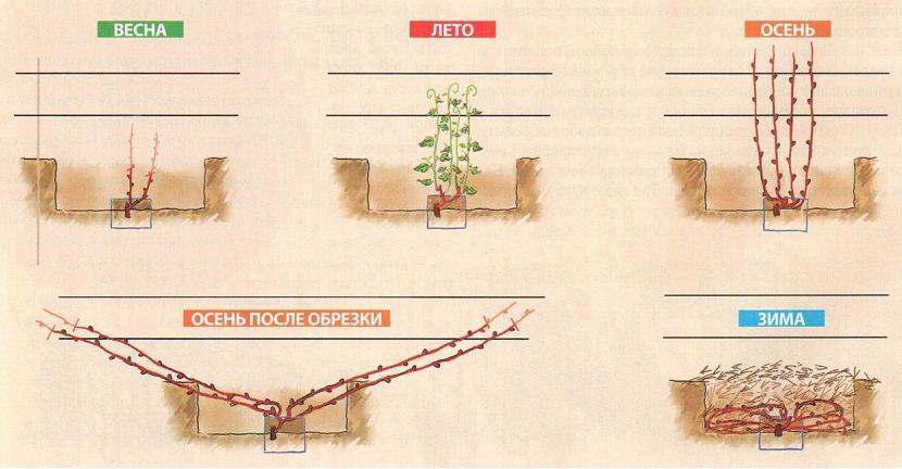Схема цикла ухода за виноградной лозой