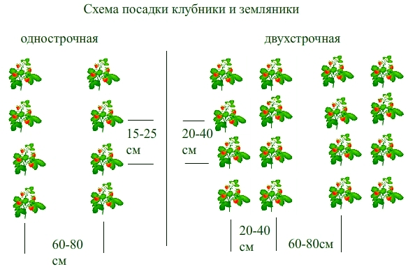 Схема посадки клубники и земляники