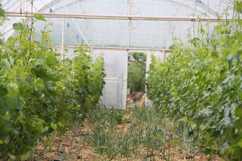 Теплица для выращивания винограда