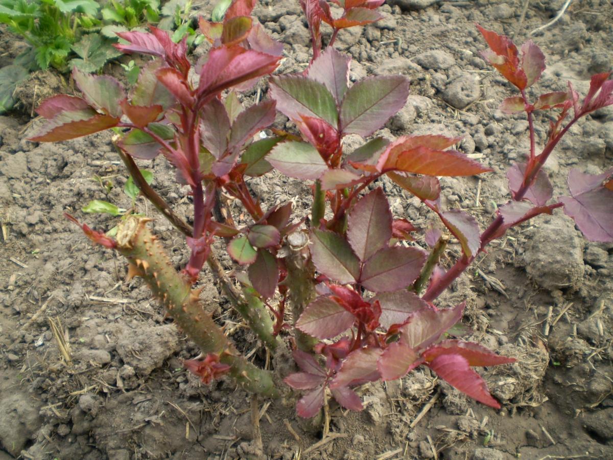 Укорененные розы начинают активно расти