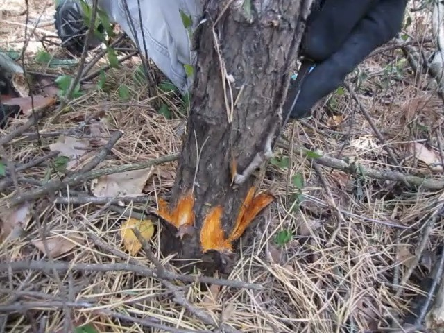 Выполнение надрезов на небольшом дереве