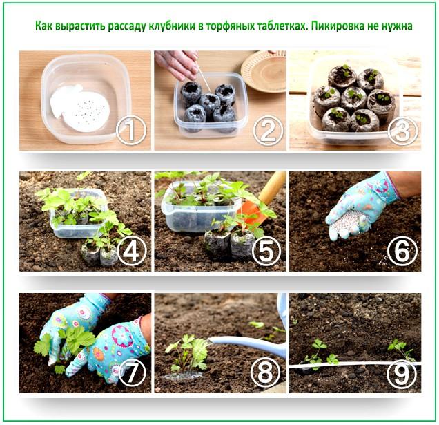 Выращиваем рассаду клубники на торфяных таблетках