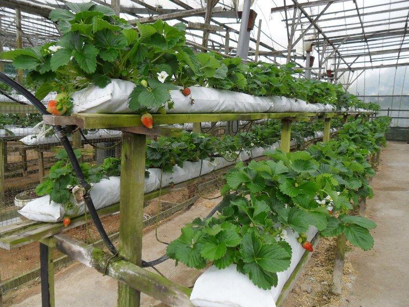 Выращивание клубники в ПЭТ мешках горизонтальным способом