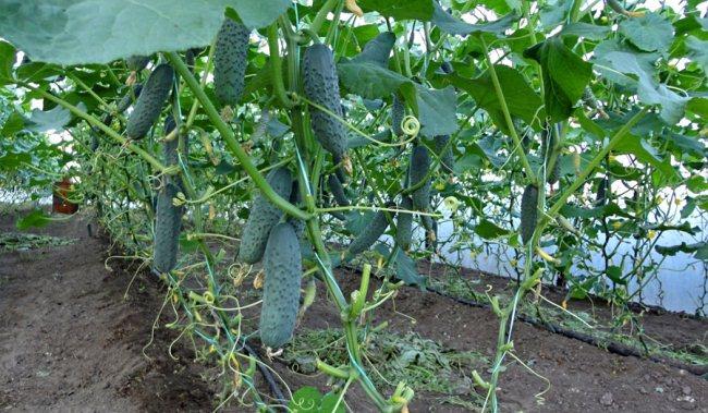 Огурцы - выращивание, посадка, уход. В открытом 81