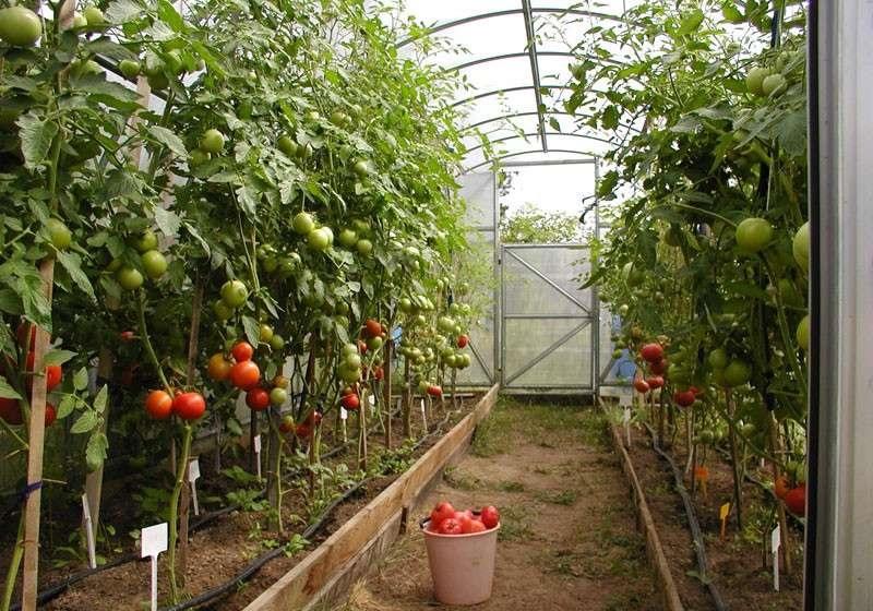 Выращивание томатов в теплице 3х6 метров