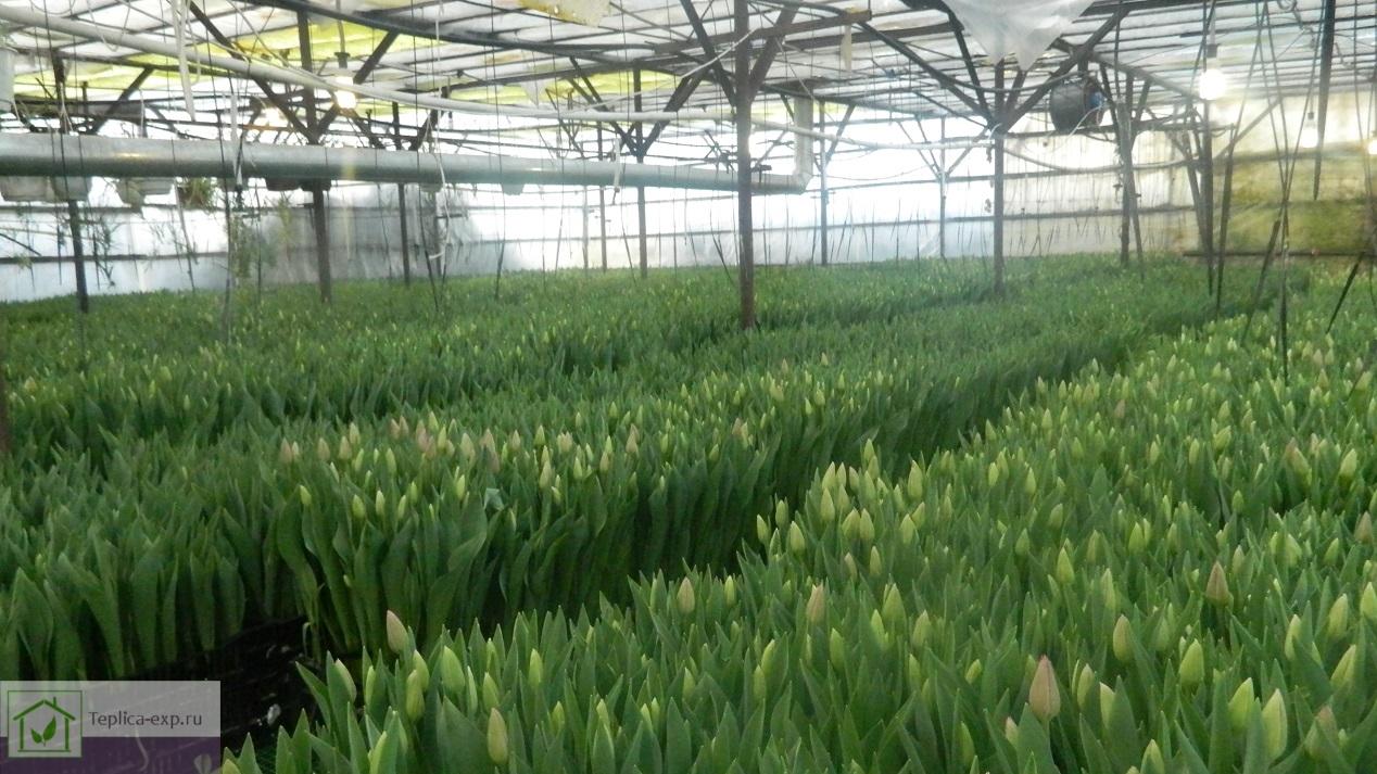 Выращивание тюльпанов в промышленной теплице