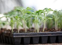 Томаты от посева до 2-3 настоящих листьев