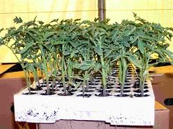 Томаты от 2-3 настоящих листьев до высадки
