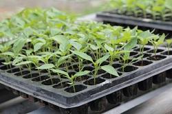 Перцы и баклажаны от посева до 2-3 настоящих листьев