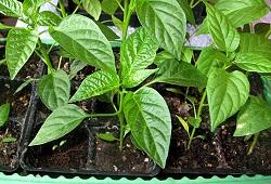 Перцы и баклажаны от 2-3 настоящих листьев до высадки