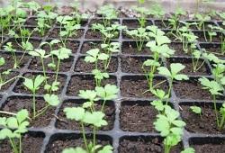 Сельдерей, лук репчатый и порей, салаты, пряные травы
