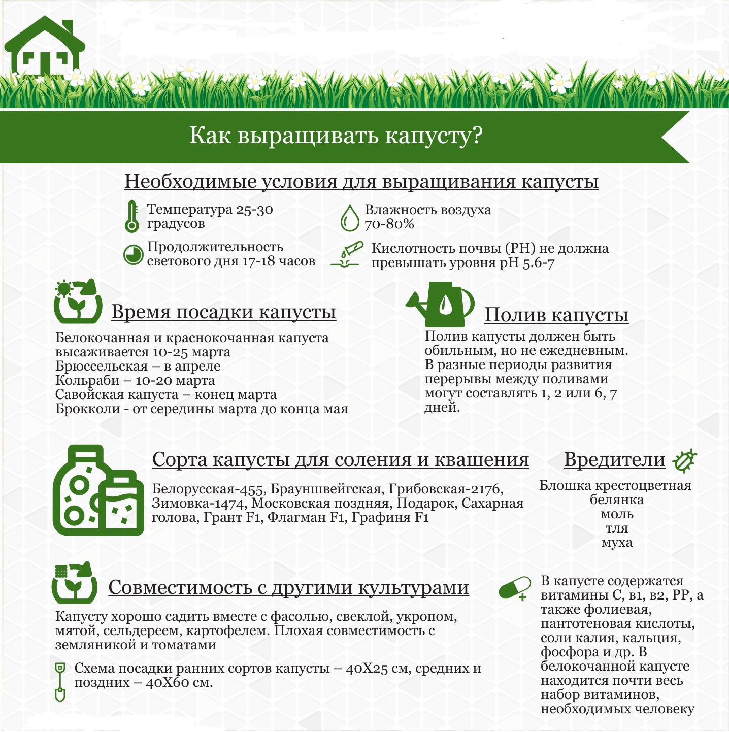 Выращивание капусты: инфографика