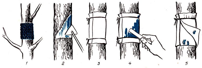 Накладка клеевых ловчих поясов: 1 - кладка яиц кольчатого шелкопряда; 2- предварительная очистка коры штамба; 3 - обвязывание бумаги шпагатом; 4 - намазывание бумаги клеем; 5 - ловчий пояс с окуклившимися гусеницами яблонной плодожорки