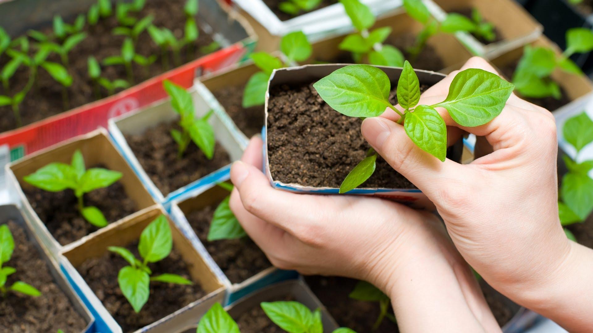 Посев и выращивание рассады цветов